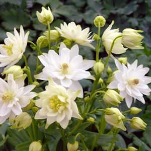 Clementine White columbine seeds
