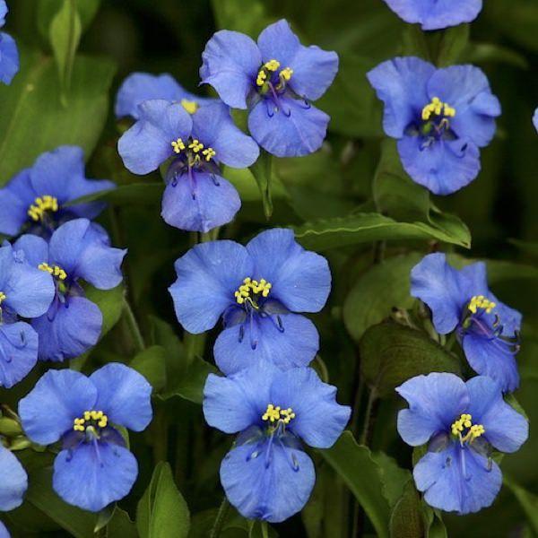 Ouverture Blue commelina seeds