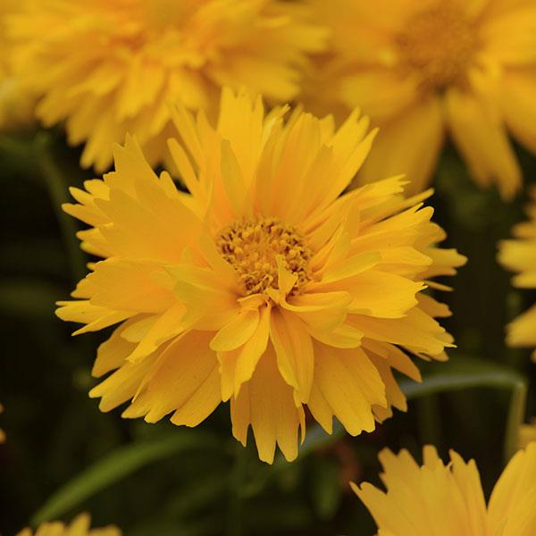 Coreopsis Double The Sun Seeds