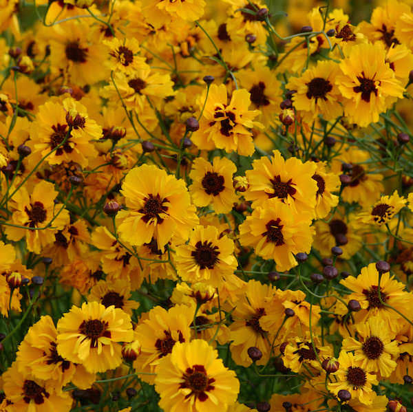 Golden Roulette coreopsis seeds
