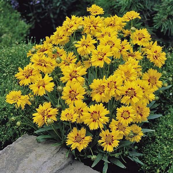 Coreopsis Rising Sun - Coreopsis grandiflora