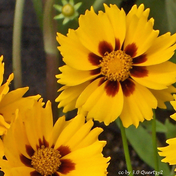 Coreopsis Sterntaler - Coreopsis lanceolata