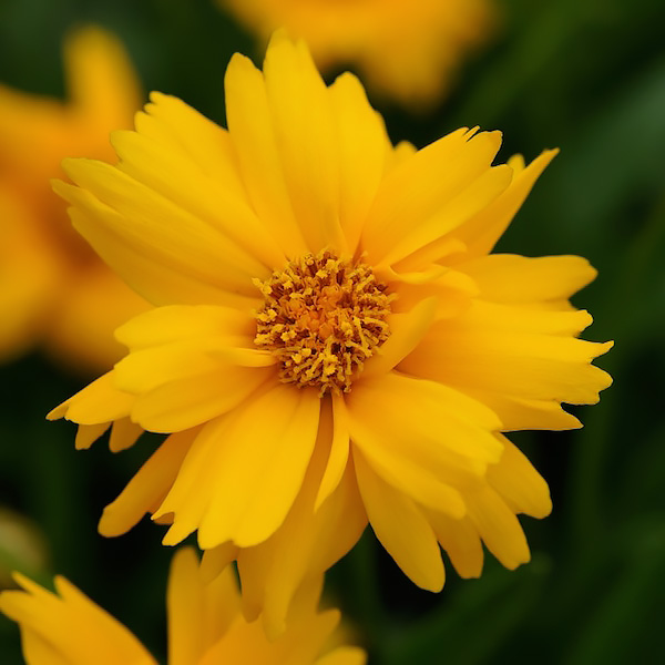 Sun Up coreopsis bloom.