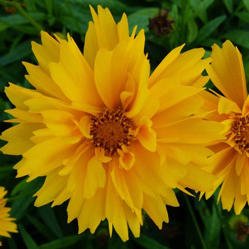 Coreopsis Suburst - Coreopsis lanceolata