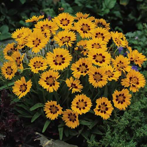 Sunfire coreopsis seeds 2 in. golden-yellow flower petals, burgundy at the base.