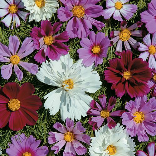 Cosmos Double All Sorts Mix annual flower seeds.