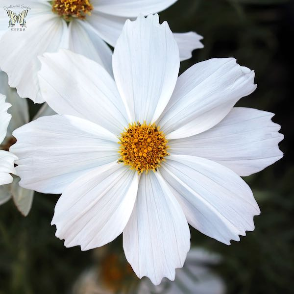 Apollo White Cosmos Seeds Annual Flower Seeds
