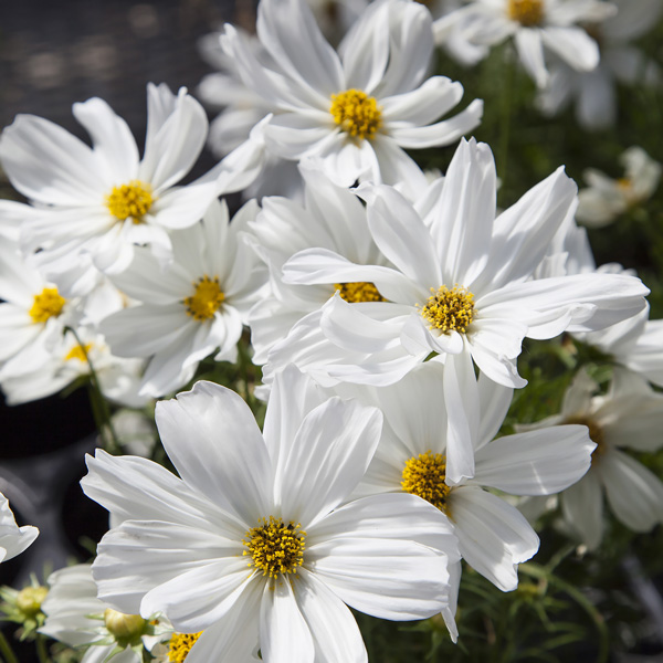 Cosmos seeds 42 top cosmos annual flower seeds flowers cosmos apollo white mightylinksfo