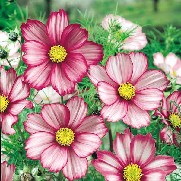 Candy Stripe cosmos seeds