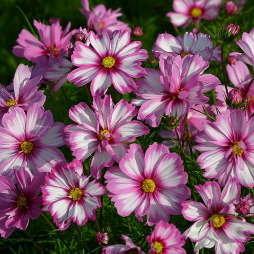 Cosmos Capriola annual flower seeds.