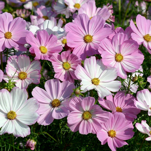 Cosmos seeds 42 top cosmos annual flower seeds cosimo pink white cosmos seeds mightylinksfo