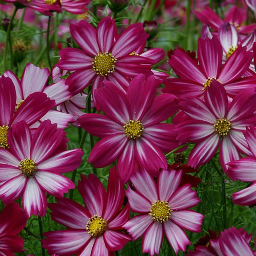 Cosmos Cosimo Purple Red-White annual flower seeds.