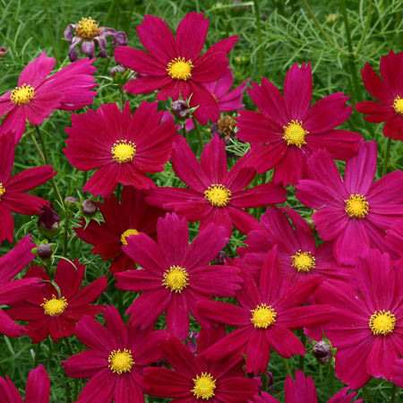Cosmos Cosimo Purple Red annual flower seeds.