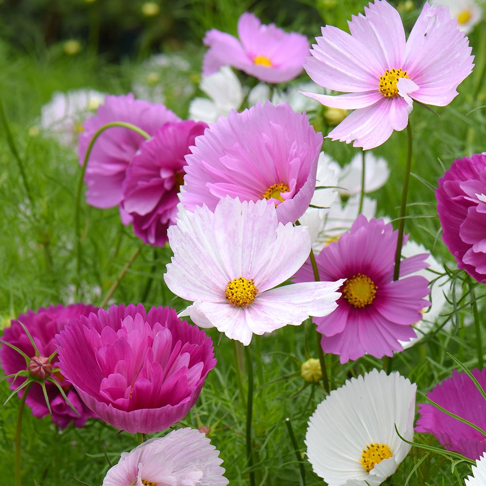 Cups and Saucers Mix cosmos seeds