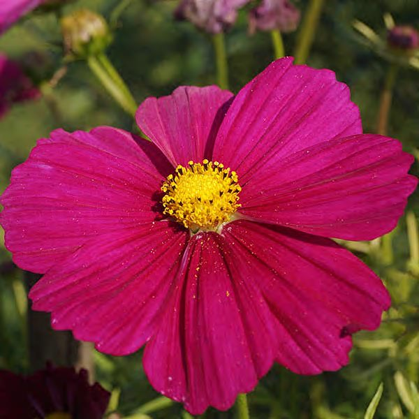 Cosmos Dazzler annual flower seeds.
