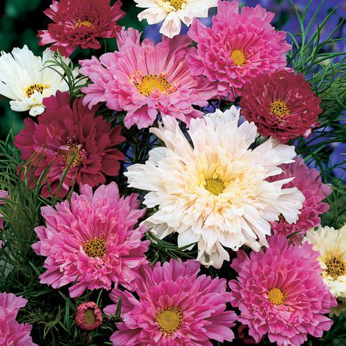Double Click Mix cosmos seeds