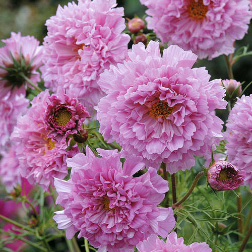 Double Click Rose Bon Bon cosmos seeds
