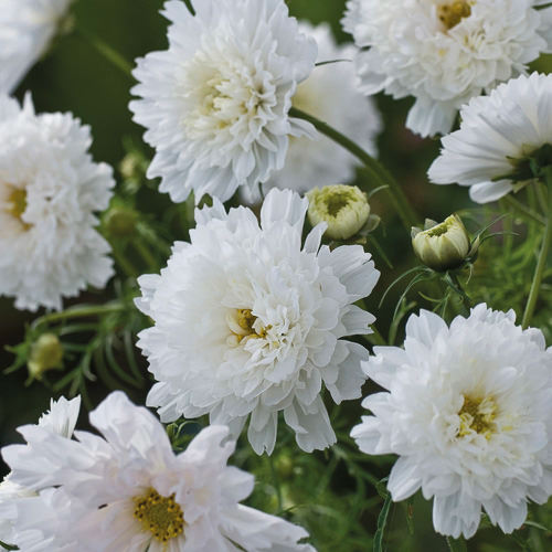 Cosmos Double Click Snow Puff annual flower seeds.