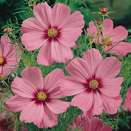 Cosmos Gloria annual flower seeds.