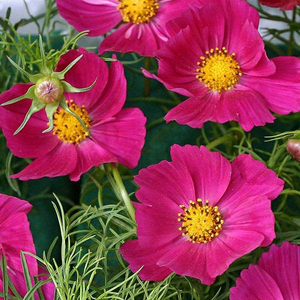 Hot Pink cosmos seeds