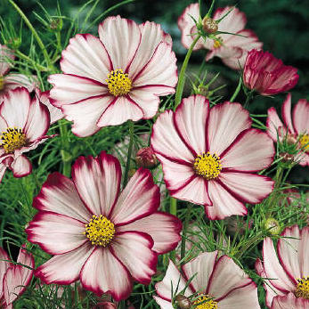 Cosmos Picotee annual flower seeds.