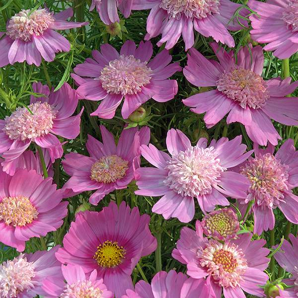 Cosmos Pink Pop Socks annual flower seeds.