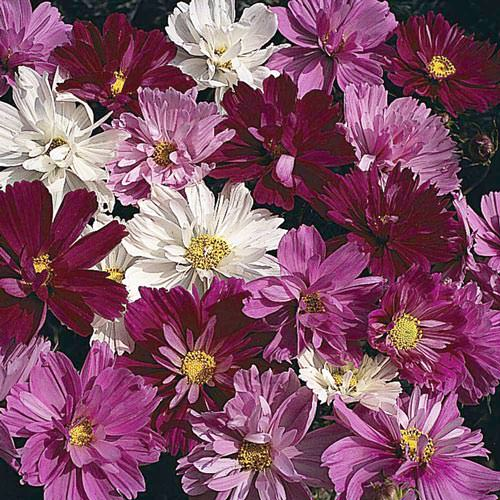 Cosmos Psyche Mix annual flower seeds.