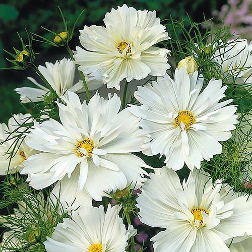 Cosmos Psyche White annual flower seeds.
