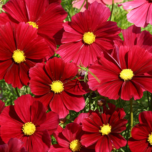 Cosmos Rubenza annual flower seeds.