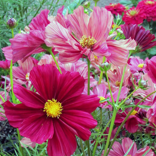 Cosmos Rubinato - contrasting shades of flowers