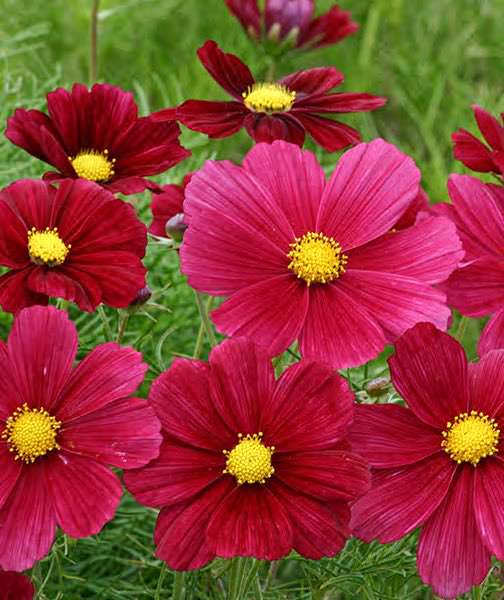 Cosmos Rubinato annual flower seeds.