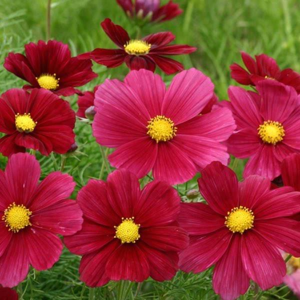 Rubinato cosmos seeds