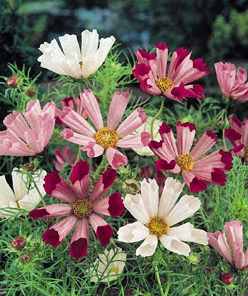 Cosmos Sea Shells annual flower seeds.