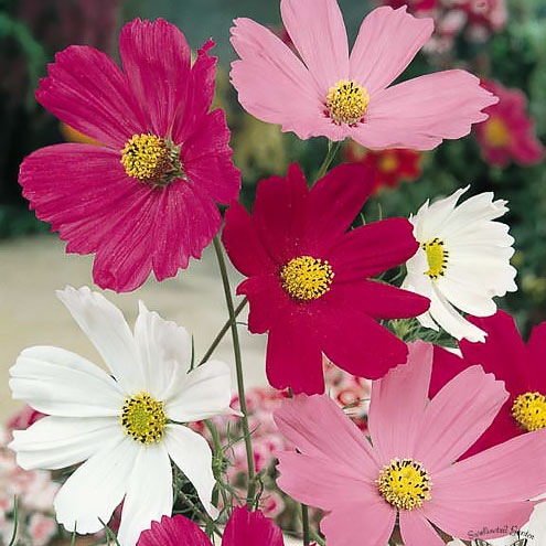 Cosmos Sensation Mix annual flower seeds.
