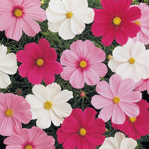 Cosmos Sonata Mix annual flower seeds.