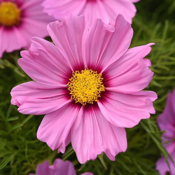 Cosmos Sonata Pink Blush annual flower seeds.