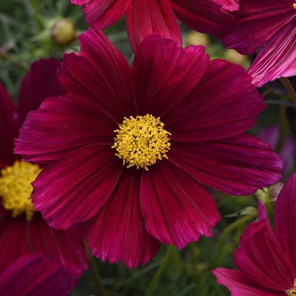 Sonata Purple Shades cosmos seeds