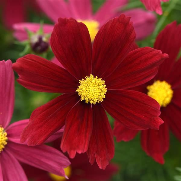 Velouette cosmos seeds