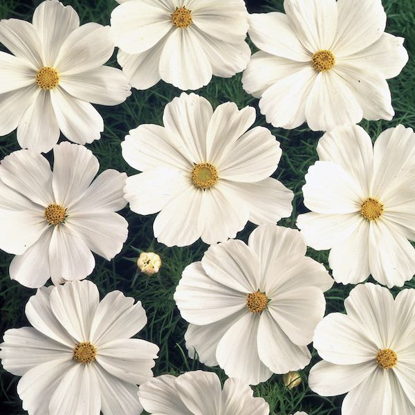 Cosmos Sonata White annual flower seeds.