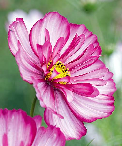 Cosmos Sweet Sixteen annual flower seeds.