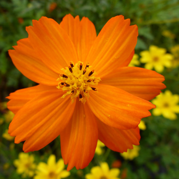 Tango cosmos seeds