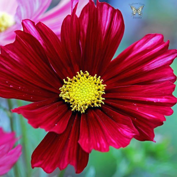 Velouette cosmos deep red flowers