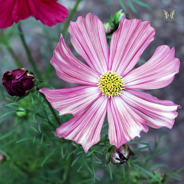 Velouette cosmos white with stripes flowers