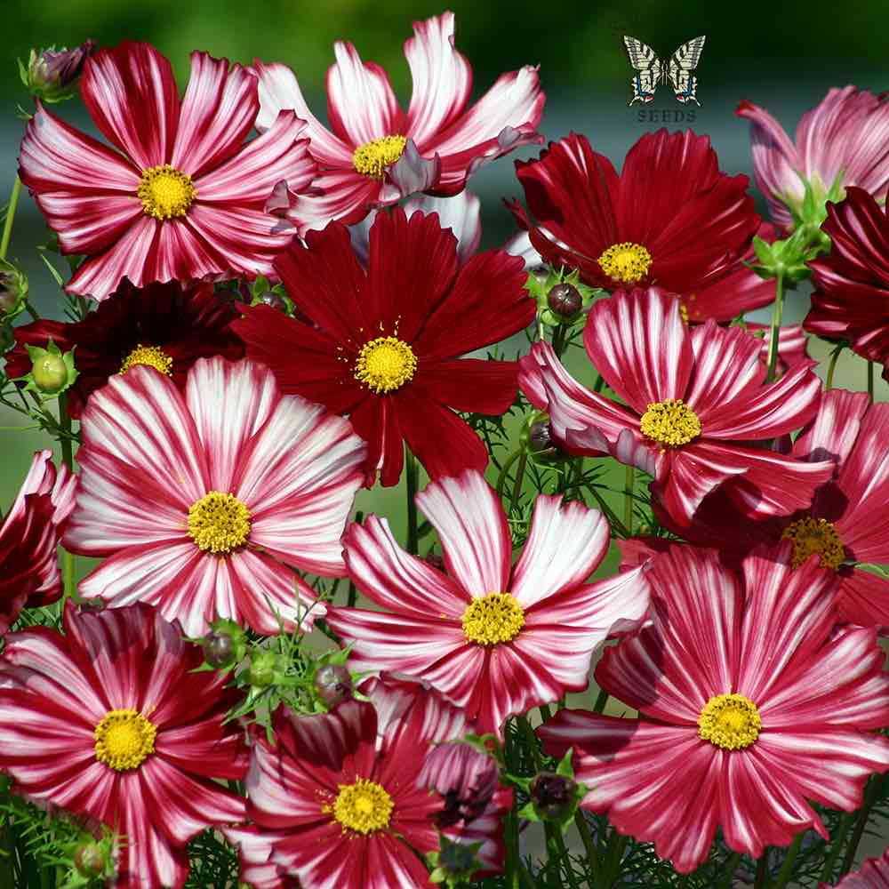 Cosmos seeds 42 top cosmos annual flower seeds velouette cosmos seeds izmirmasajfo