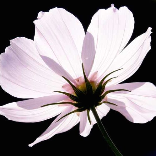 Cosmos Versailles Flush annual flower seeds.
