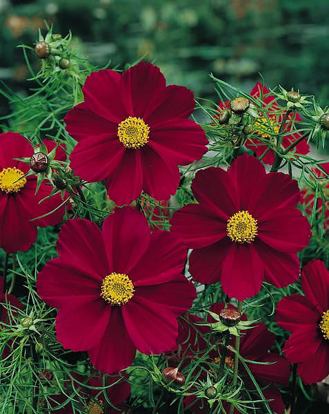 Versailles Red cosmos seeds