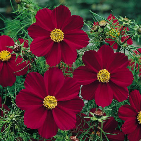 Cosmos Versailles Red annual flower seeds.