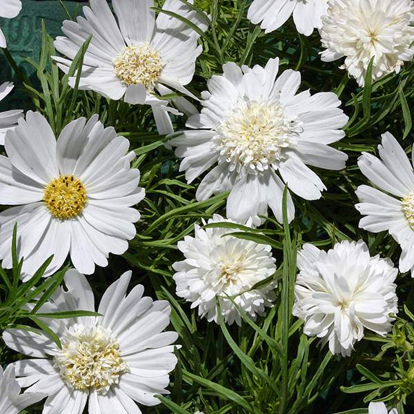 White Pop Socks cosmos seeds