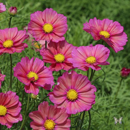 Drought and Heat Tolerant Annual Pink Radiance Cosmos Flower Seeds 100