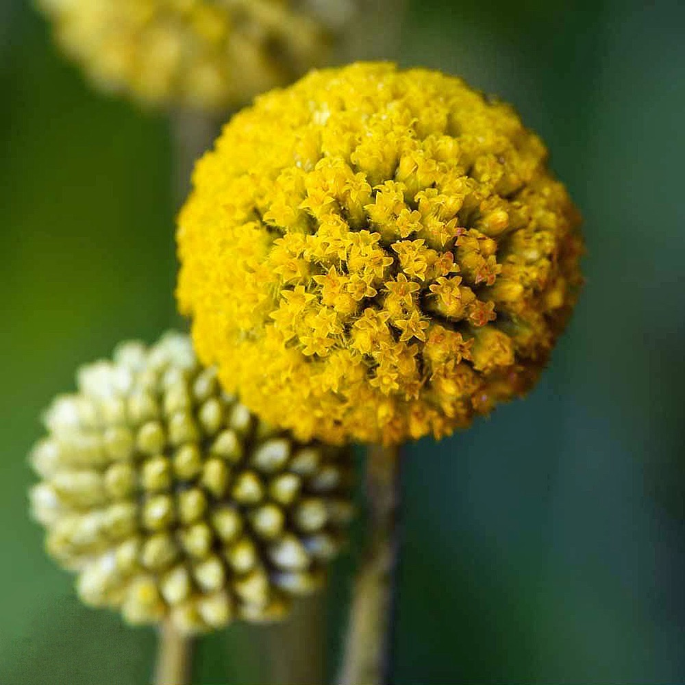 Billy Buttons craspedia seeds